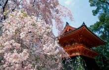 Cherry blossoms, Yoshino Mountain, Japan